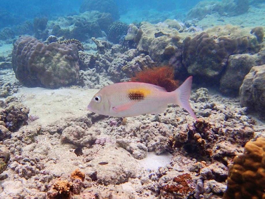 Lethrinus harak (Thumbprint Emperor), Miniloc Island Resort reef, Palawan, Philippines.