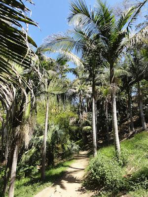 En sti mellom høye palmer.