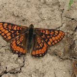 Euphydryas intermedia MÉNÉTRIÉS, 1859, mâle. Tigrovoy, 21 juin 2011. Photo : J. Michel