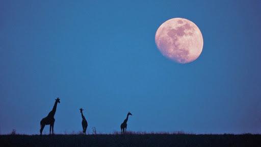 Moonrise Over the Serengeti, Kenya, Africa.jpg