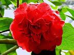濃紅色 八重 牡丹咲き 大〜極大輪