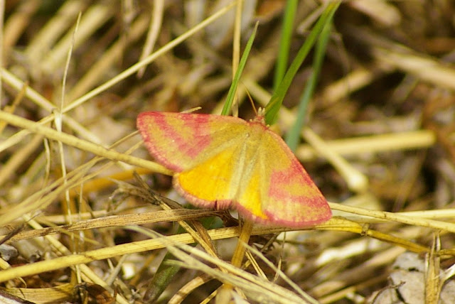 Crambidae : Pyraustinae : Pyrausta sanguinalis (LINNAEUS, 1767). Les Hautes-Lisières, 6 juillet 2010. Photo : Jean-Marc Gayman