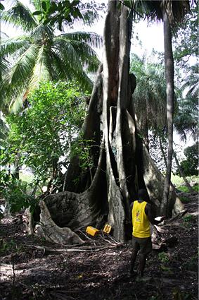Gran Ceiba, punto fetichista, isla de Hitou