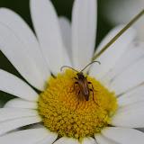 Cerambycidae : Lepturinae : Paracorymbia (Brachyleptura) fulva (DE GÉER, 1775). Les Hautes-Lisières (Rouvres, 28), 13 juin 2012. Photo : J.-M. Gayman
