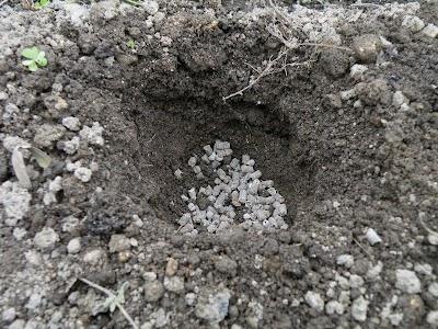 畝に掘った植え穴