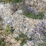 Ptychotis saxifraga et lavandin. Lagarde d'Apt, 1200 m (Vaucluse), 28 juin 2015. Photo : J.-M. Gayman