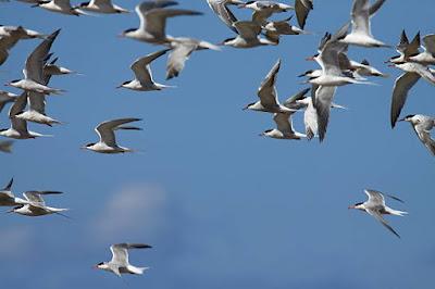 आर्कटिक टर्न एक घुमक्कड़ पक्षी - anokhagyan.in