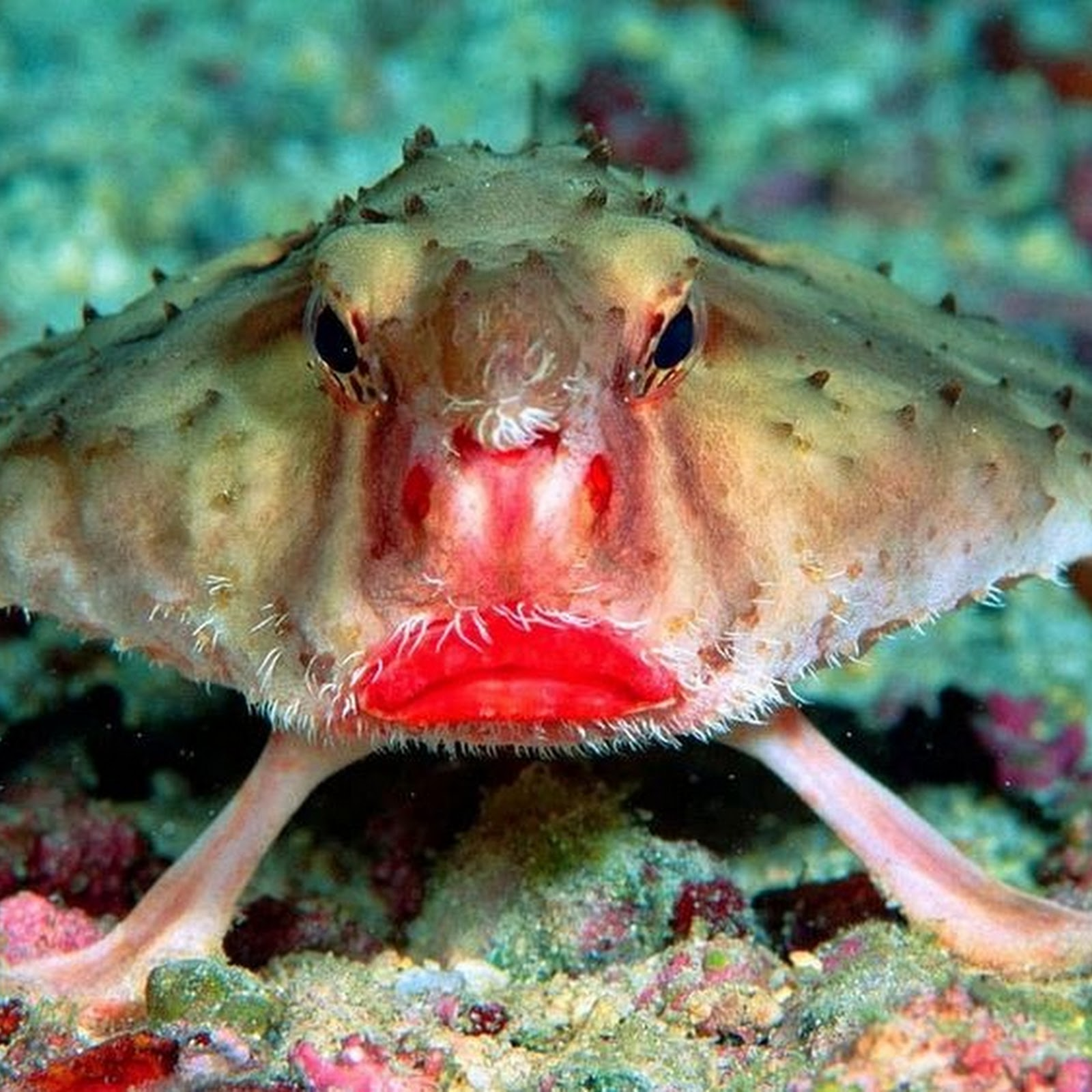The Pout Of A Red-Lipped Batfish