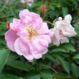 Gardening 2011 - 100_7308.JPG