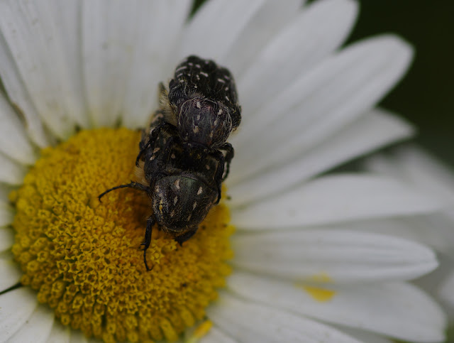 Cetoniidae : couple d'Oxythyrea funesta (PODA, 1761). Les Hautes-Lisières (Rouvres, 28), 11 juin 2012. Photo : J.-M. Gayman