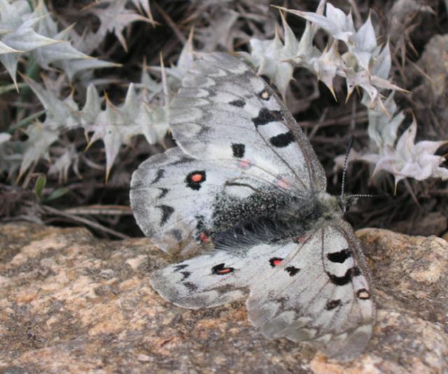 Parnassius (Parnassius) jacquemonti pamirus BANG-HAAS, 1927. Kuh-i-Lal, 3600 m, 15 juillet 2007. Photo : J. Michel