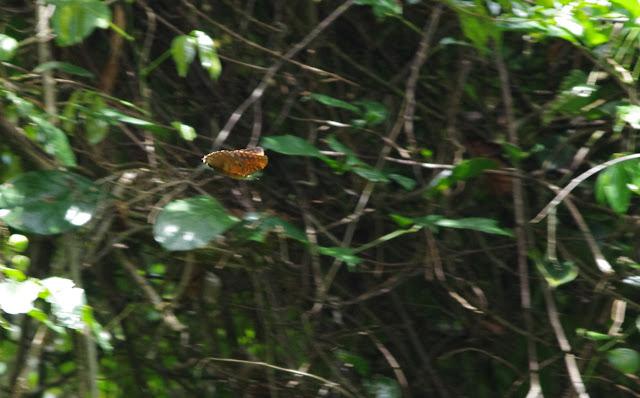 Morpho telemachus en vol. Piste de Coralie, 1er novembre 2012. Photo : J.-M. Gayman
