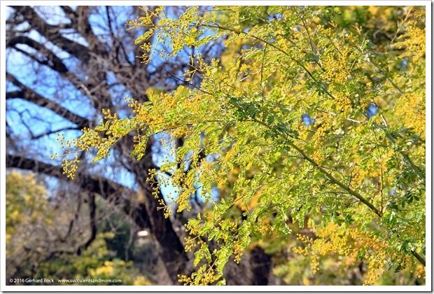 160215_UCDA_AcaciaGrove_Acacia-spectabilis_002