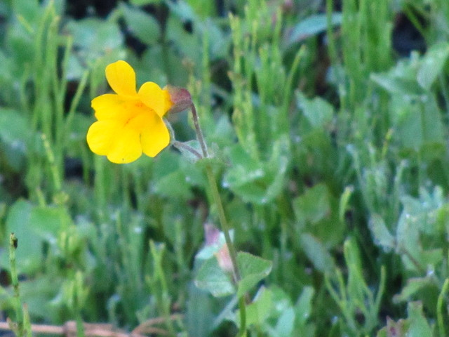 yellow flower on a thin stalk