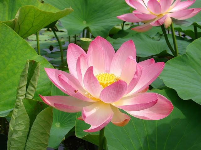 Lotus, Oussouri. Photo : A. Silaev