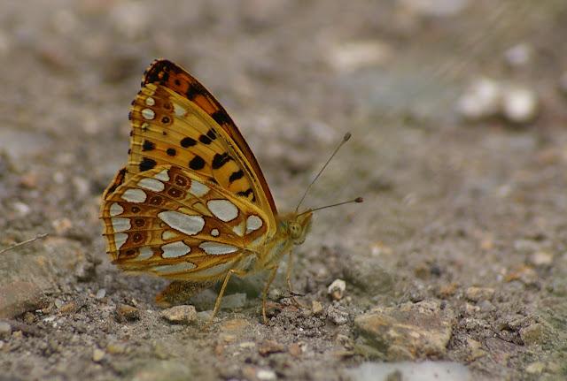 Issoria lathonia L., 1758, femelle. Les Hautes-Lisières (Rouvres, 28), 28 juin 2011. Photo : J.-M. Gayman