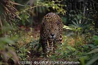 Un jaguar en la selva