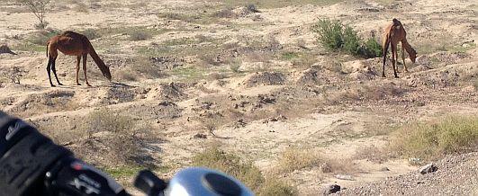 Kamele weiden neben der Straße bei Kal Motali, 60 km westlich von Bandar Abbas, Iran