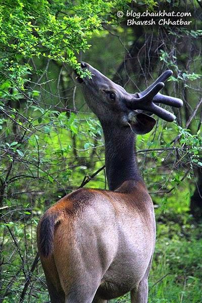 Juvenile Male Sambar Deer