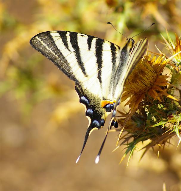 Iphiclides podalirius LINNAEUS, 1758. Vetaro (Viggianello, près de Propriano), Corse du Sud, août 2006. Photo : J.-M. Gayman