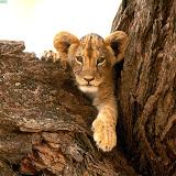 cachorro de tigre.jpg