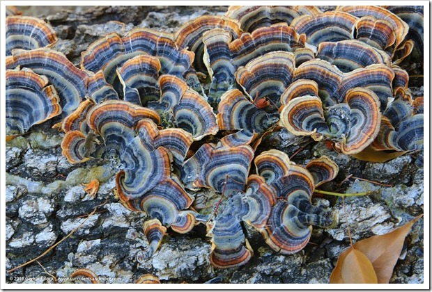 Wednesday Vignette: funny fungus at the Ruth Bancroft Garden