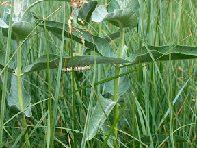 Caterpillar, Sentinel Meadow