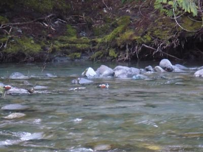 Harlequin ducks fishing for bugs in the river