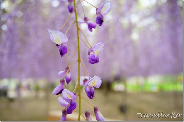 在最美的季節遇見足利紫籐花卉公園:門票交通攻略實況(下)10
