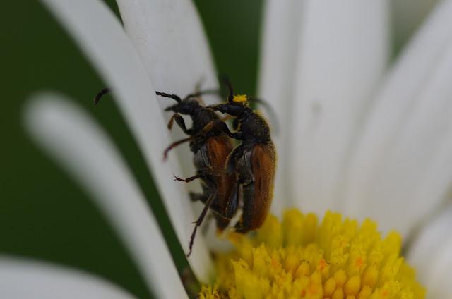 Couple de Cerambycidae. Les Hautes-Lisières (Rouvres, 28), 15 juin 2012. Photo : J.-M. Gayman
