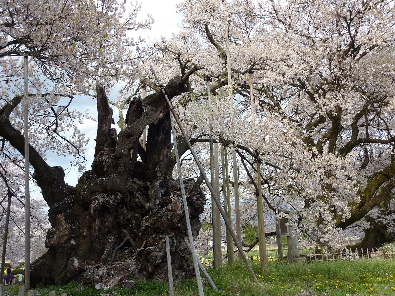 2010年の山高神代桜