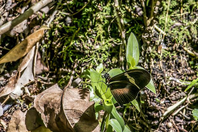 Heliconius clysonymus clysonymus Latreille, [1817]. La Minga, Choachi, 2330 m (Cundinamarca, Colombie), 11 novembre 2015. Photo : B. Lalanne-Cassou