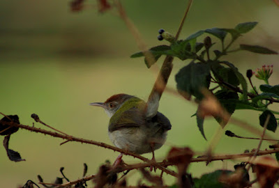 Common Tailorbird 22-May-2016 (Pic: Madhurima Das)
