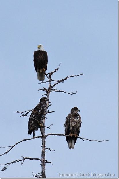 eagle16