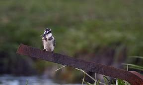 Pied Kingfisher with Fish, Zambezi River, Botswana