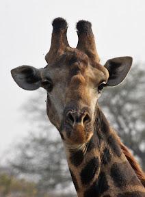 Giraffe Left, South Africa