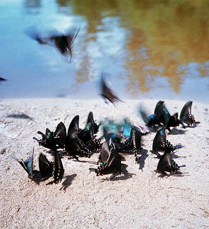 Rassemblement de Papilio maackii MÉNÉTRIÈS, 1859, sur la berge d'une rivière. Photo : Yuri Shibnev