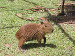 Capibara, Amazon Rainforest  [2005]