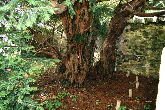 6_Fortingall-Yew-trunk