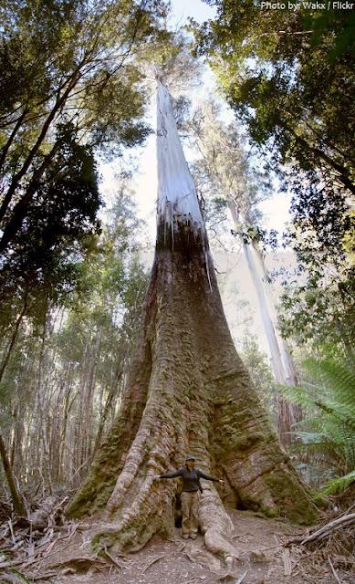 Fakta menarik ihwal Pohon kayu putih  Fakta - Fakta menarik ihwal Pohon kayu putih / Eucalyptus