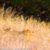 A coyote goes full-throttle after a whitetail deer in Pattee Canyon.