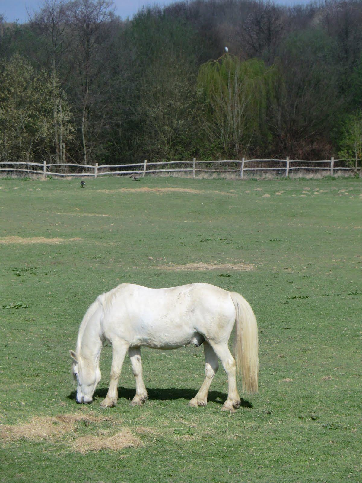 CIMG9578 White horse at Renby Farm