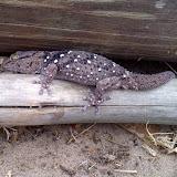 An interesting lizard seen on building day
