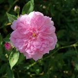 Gardening 2012 - 115_2881.JPG