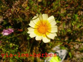 Chrysantheme couronne, Glebionis coronaria.jpg