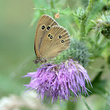 Vlinders- en libellenexcursie op de Gorsselse Heide
