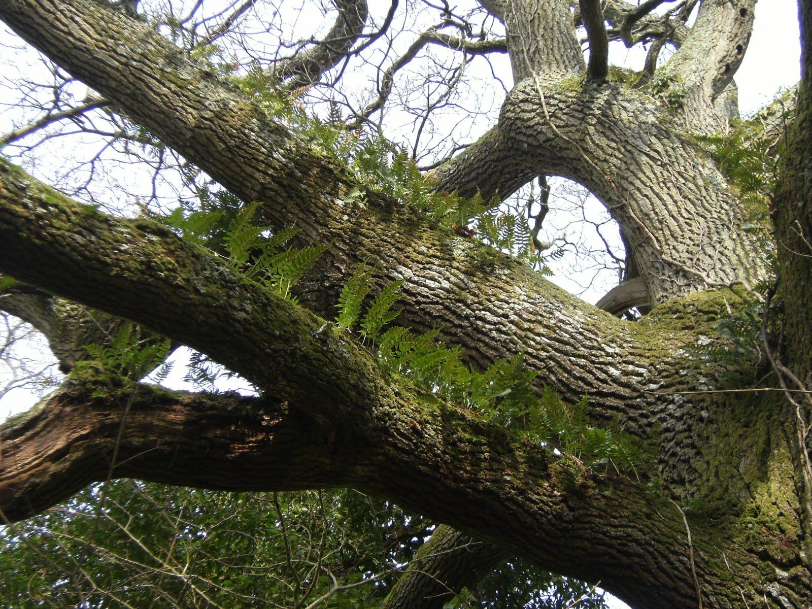 1103120006 Polypody ferns growing on old oak tree