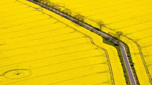 Oil Seed Rape Fields, Bad Doberan, Germany.jpg