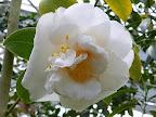 桃色 白斑入り 八重咲き 中輪