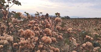 Un champ de coton jaune